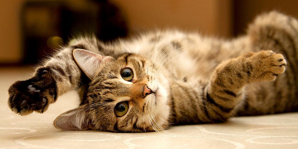 Das optimale Gewicht einer Katze hängt von ihrer Rasse ab