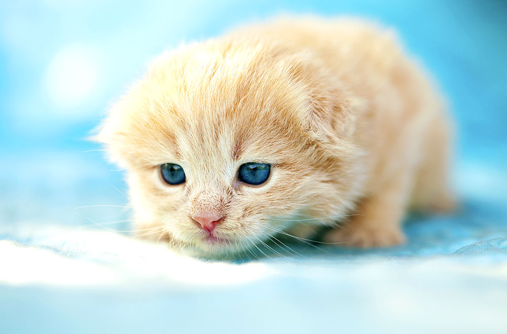 Rothaariges Kätzchen mit blauen Augen