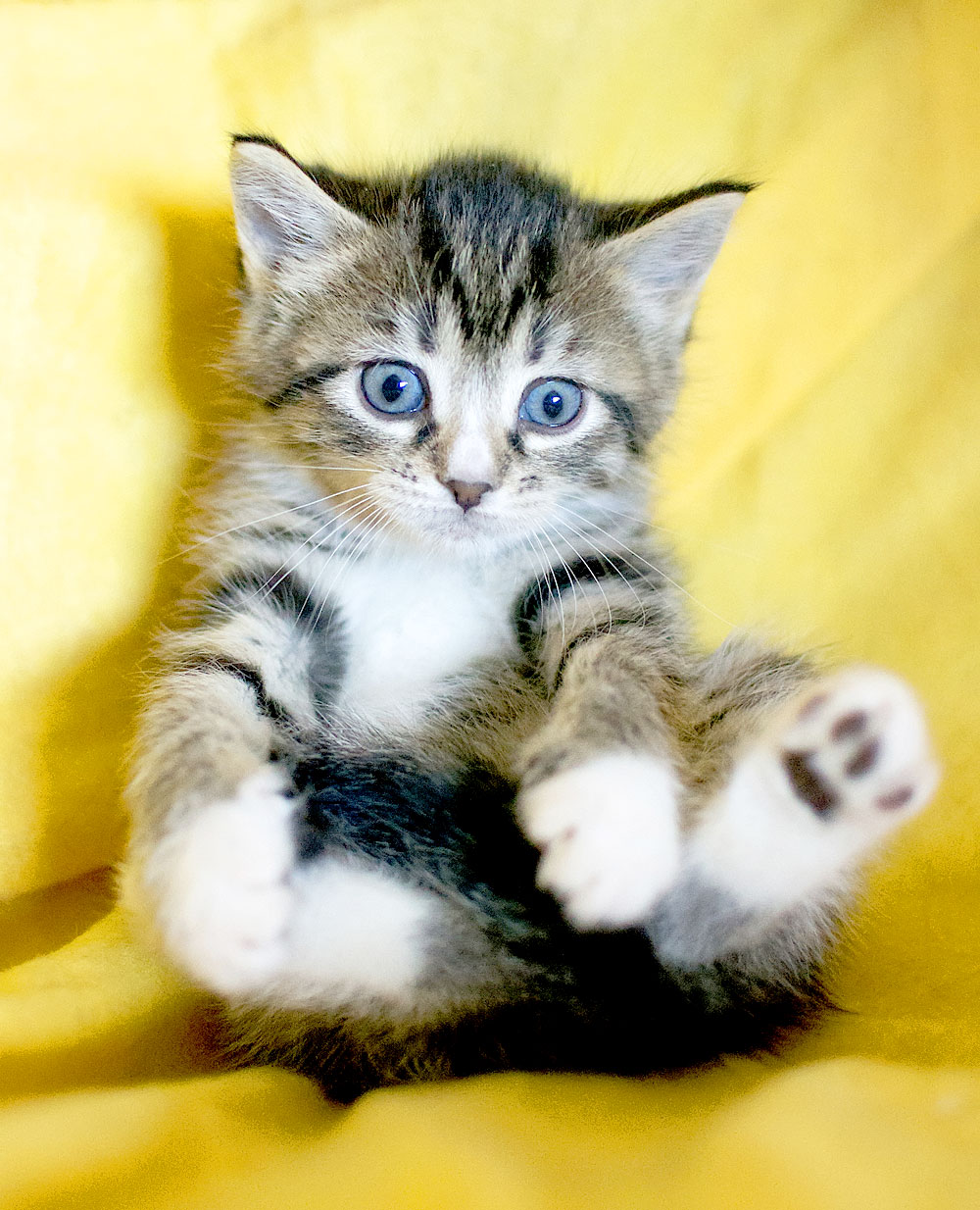 Tabbykatze mit blauen Augen
