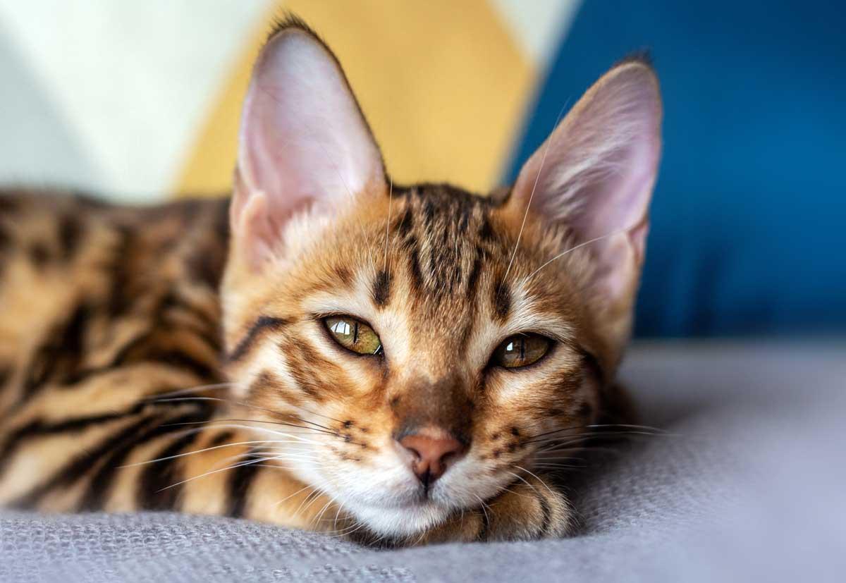 Junge Bengalkatze träumt
